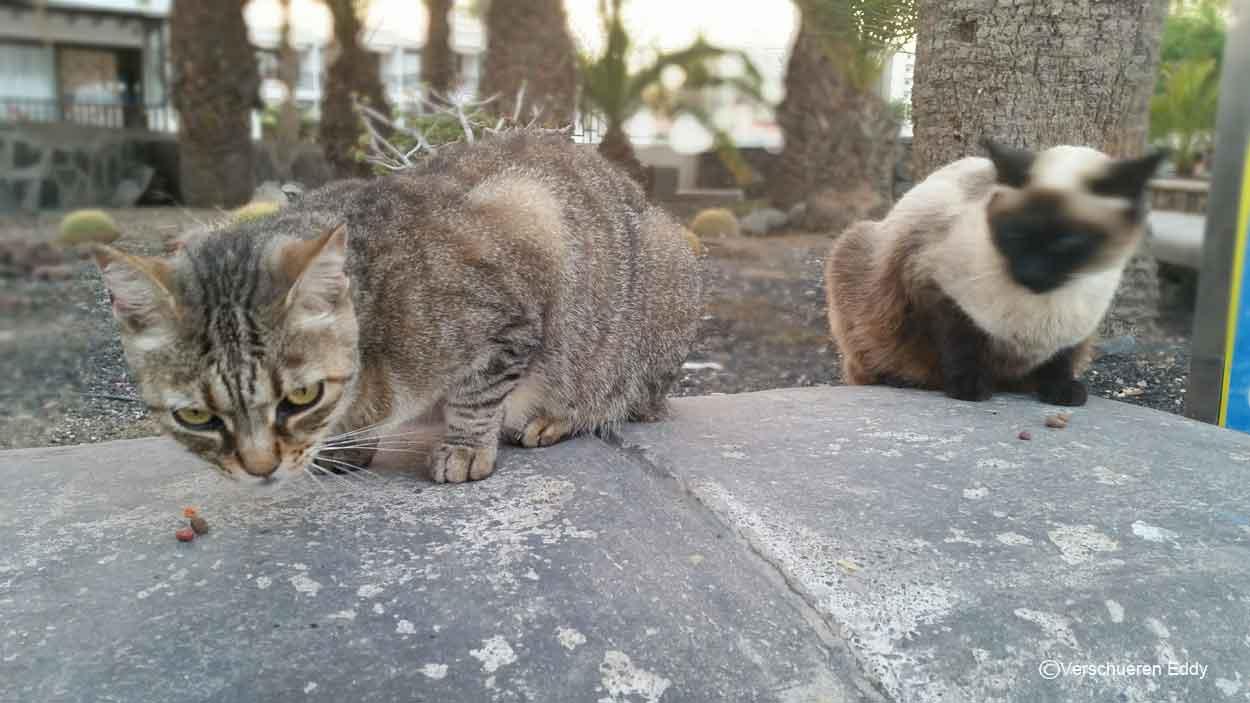 cats pasing comeback bar playa del ingles