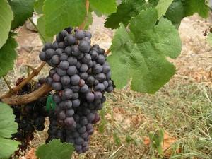 Wijndruif Listan Negro Gran Canaria