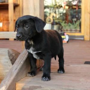 Labrador Canario