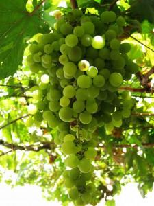 Wijndruif Malvasia Gran-Canaria