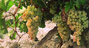 Wijn druiven op Gran Canaria