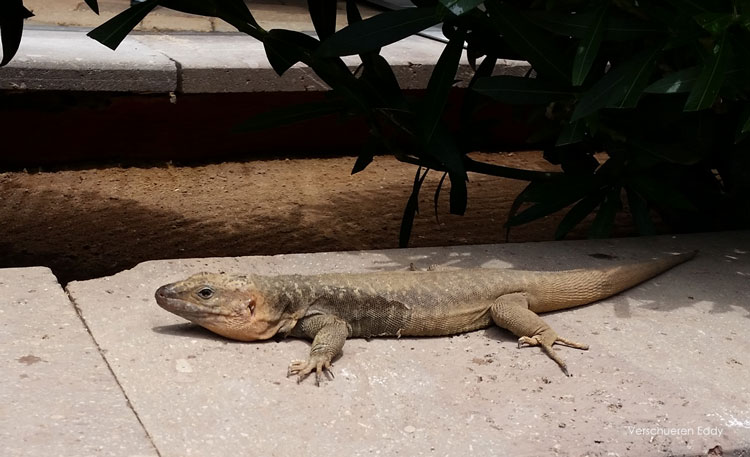 Reptiles like lizards run freely around nature around Maspalomas
